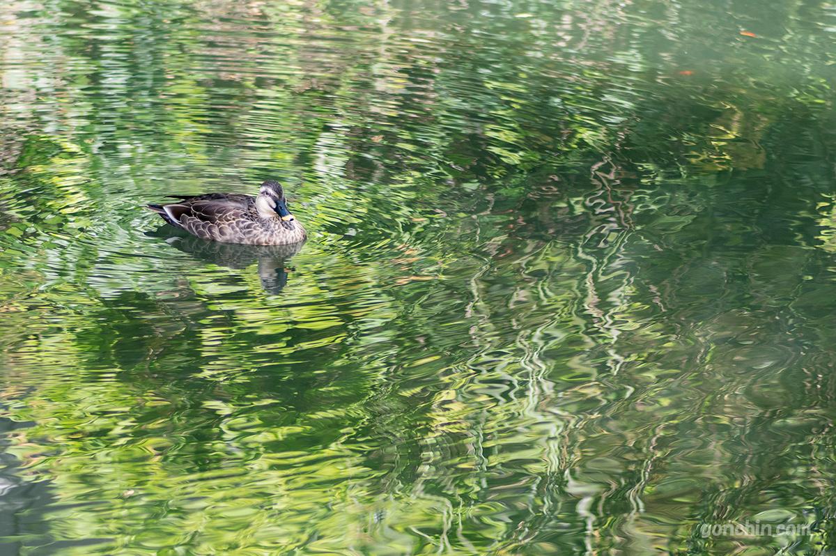 永観堂の池とカモ
