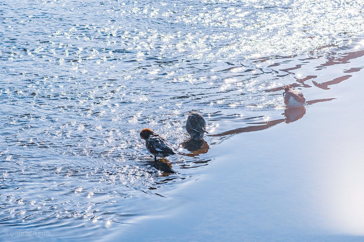 鴨川のスズメ